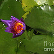 Waterlily Opening Part Of A Series Art Print