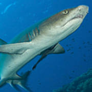 Whitetip Reef Shark, Kimbe Bay, Papua Art Print
