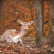 1111-7638 Fawn In Fall Art Print