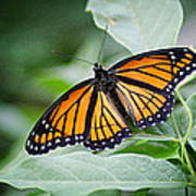 1205-8934 Monarch In Spring Art Print by Randy Forrester