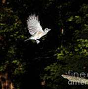 Tufted Titmouse In Flight Art Print