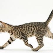 Tabby Kitten Art Print