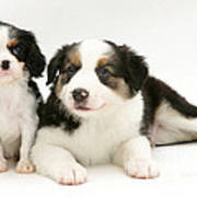 Puppies Art Print by Jane Burton