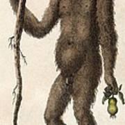 1795 Wild Man Of The Woods - Orangutan. Art Print