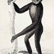 1833 Jardine Hylobates Hoolock Gibbon Art Print