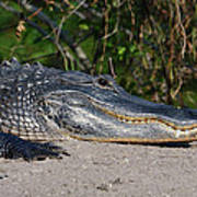 19- Alligator Art Print