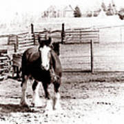 1900  Clydesdale Horse Art Print