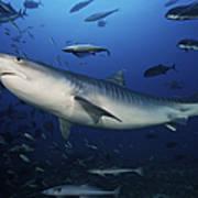 A Large 10 Foot Tiger Shark Swims Art Print