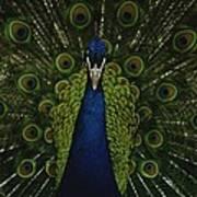 A Male Peacock Displays His Beautiful Art Print