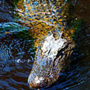 Alligator In Mississippi River Art Print