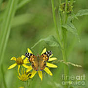 American Painted Lady Art Print