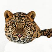 Amur Leopard In Snow Art Print