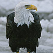 An American Bald Eagle Stands Art Print