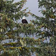 Bald Eagle Haliaeetus Leucocephalus Art Print