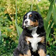 Bernese Mountain Dog Puppy  Portrait Art Print