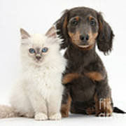 Blue-point Kitten & Dachshund Art Print