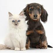 Blue-point Kitten & Dachshund Print by Mark Taylor