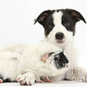 Border Collie Pup And Guinea Pig Art Print