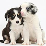 Boreder Collie Puppies Art Print