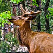 Browsing Elk In The Grand Canyon Art Print