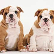 Bulldog Pup Art Print