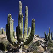 Cardon Pachycereus Pringlei Cacti Art Print
