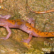 Cave Salamander Art Print