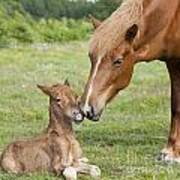 Chestnut Icelandic Horse With Newborn Foal Art Print