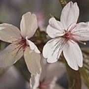 Close View Of Cherry Blossoms Art Print