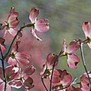 Close View Of Pink Dogwood Blossoms Art Print