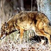 Coyote - American Prairie Wolf Art Print