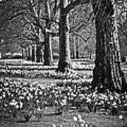 Daffodils In St. James's Park Art Print
