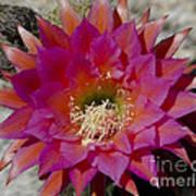 Dark Pink Cactus Flower Art Print