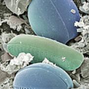 Diatom Algae, Sem Art Print by Steve Gschmeissner