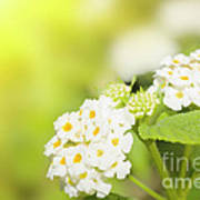 Floral Background. Lantana Flowers Art Print