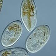 Frontonia Protozoa, Light Micrograph Print by Frank Fox