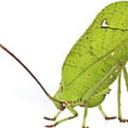 Giant Leaf Katydid Barbilla Np Costa Art Print