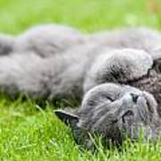 Gray Cat  Art Print