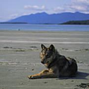 Gray Wolf On Beach Art Print