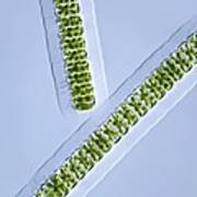 Green Algae, Light Micrograph Art Print