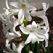 Hyacinth Named Aiolos Art Print