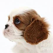 King Charles Spaniel Puppy Art Print