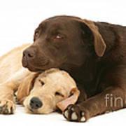 Labradoodle And Labrador Retriever Art Print