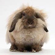 Lionhead-lop Rabbit Art Print