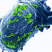 Lymphocyte With Hiv Cluster Print by Science Source