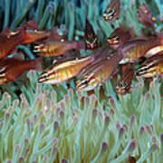 Moluccan Cardinalfish Art Print