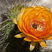 Orange Cactus Flower Art Print