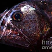 Pacific Viperfish Art Print