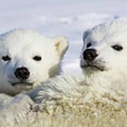 Polar Bear Ursus Maritimus Three Art Print