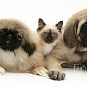 Puppies And Kitten Art Print by Jane Burton